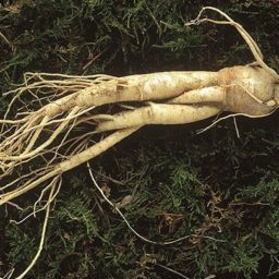 panax-ginseng-boosts-testosterone